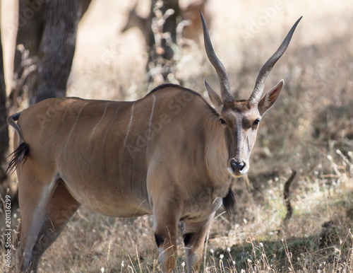 Foto op Canvas Antilope Scimitar-horned Oryx