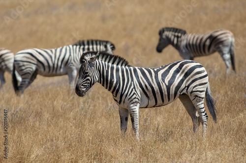 Foto op Plexiglas Zebra Zebras