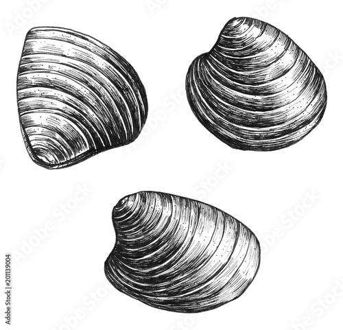 Hand drawn clam bivalve mollusc Wallpaper Mural