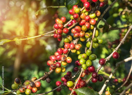 Close up colorful group of many coffee seeds ripening on tree in coffee plantation in north of thailand selective focus