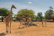 Giraffes At Calauit Island Game Preserve And Wildlife Sanctuary, Busuanga, Palawan, Philippines