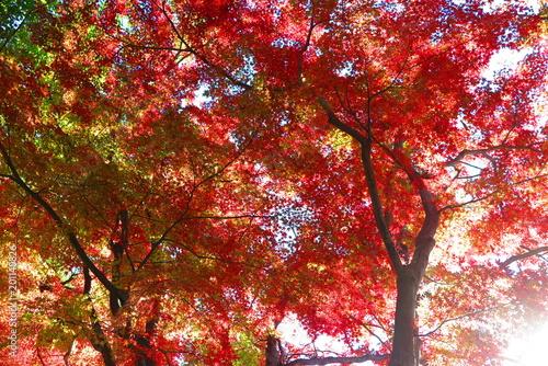 Keuken foto achterwand Rood paars 秋のハイキングコースの風景55