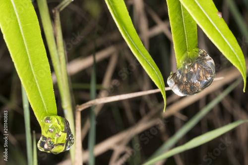 Eggs of the Minute Treefrog (Dendropsophus minutus