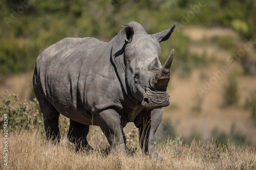 Photo sur Aluminium Rhino R