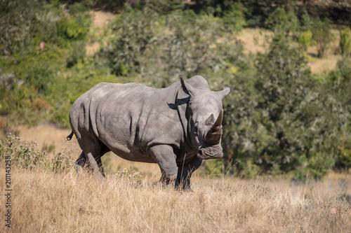 Keuken foto achterwand Neushoorn Rhino