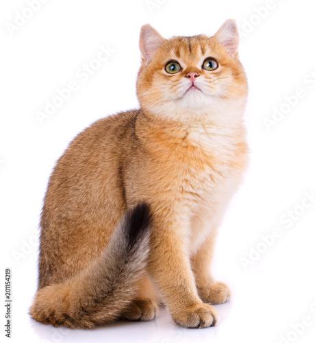 Keuken foto achterwand Kat Smooth straight Scottish Cat