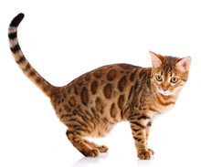Bengal Thoroughbred Cat On A W...