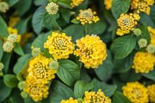 Top View Of Yellow Trumpetbush...