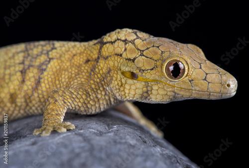 Large-scaled chameleon gecko (Eurydactylodes symmetricus)