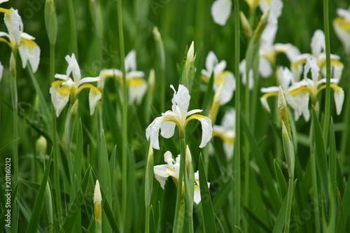 Papiers peints Narcisse iris / アヤメ 白 2