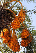 Date Palm With Bunches Of Ripe...