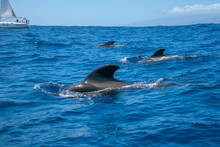 Family Dolphins Smimming In T...