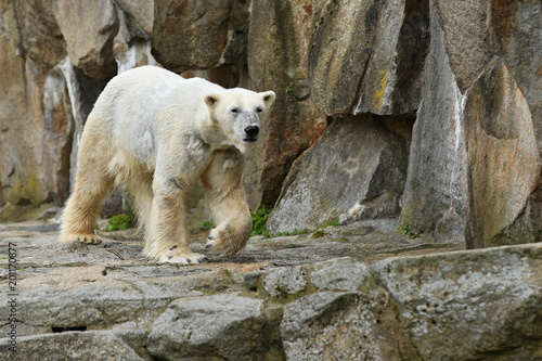 Foto op Canvas Ijsbeer Big beautiful polar bear in the rocky area. Wonderful creature in the nature looking habitat. Endangered animals in captivity. Ursus maritimus.