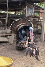 Male Turkey Spreading His Feat...