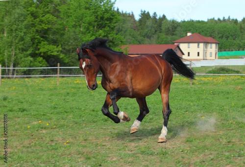 Fototapeta Thoroughbred horse racer runs on a green summer meadow obraz