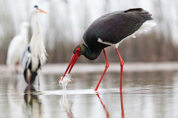 Panel Szklanybeautiful black stork fishing on a lake