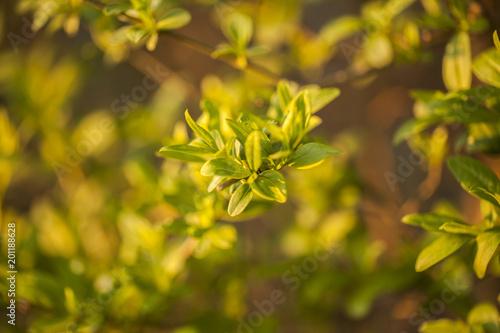 Fototapety, obrazy: Żywopłot liściasty
