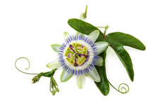 Passion Flower On White.