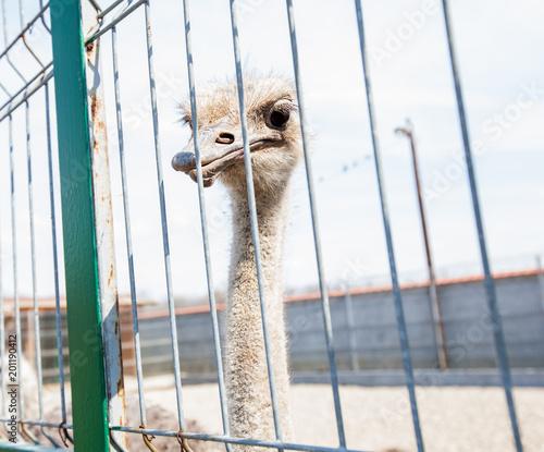 In de dag Struisvogel Ostrich in the ZOO