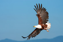 African Fish Eagle Flying Agai...