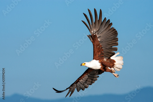 Poster de jardin Aigle African Fish Eagle flying against a clear sky