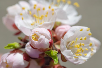 Fototapeta Ogrody spring flowers apricot on branches of a apricot tree