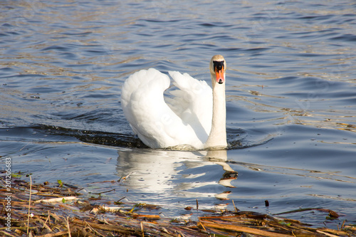 Staande foto Zwaan The white swan floats on the river