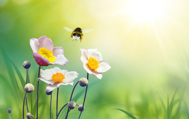 Beautiful pink flowers anemones on meadow and flying bumblebee macro on soft blurry light green background in warm  summer in sunshine in nature, bright soulful artistic image, copy space.