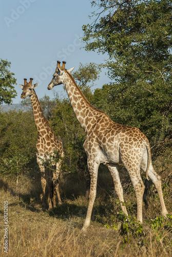 Giraffa, Kruger National Park Fototapete