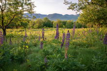 Lupine Flowers In Sugar Hill N...