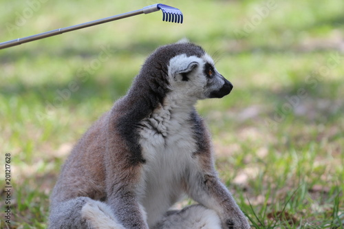 Photo  Ring Tailed Lemur Enrichment / Scratch with Back Scratcher