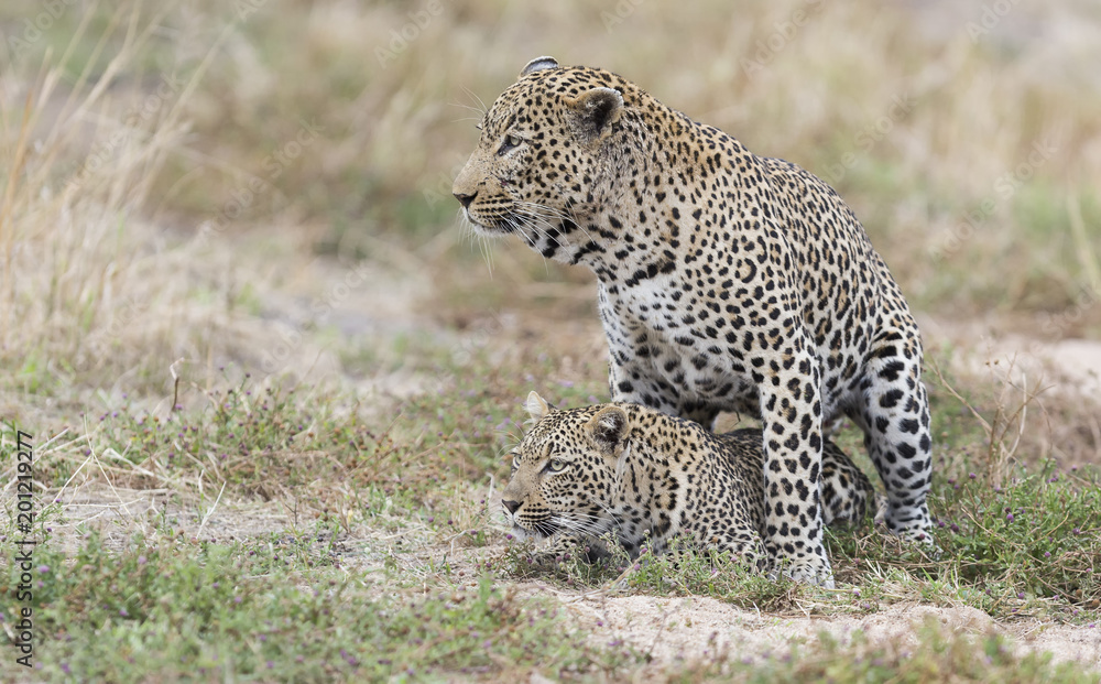 Male and female leopard mating on grass in nature