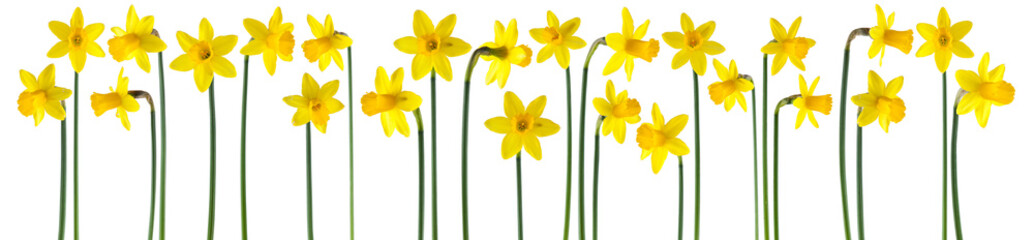 beautiful yellow daffodils isolated on white, can be used as background