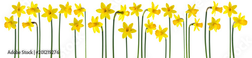 Fotobehang Narcis beautiful yellow daffodils isolated on white, can be used as background