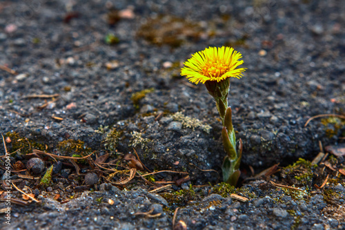 Photo  Beautiful yellow flower growing on crack in old asphalt pavement
