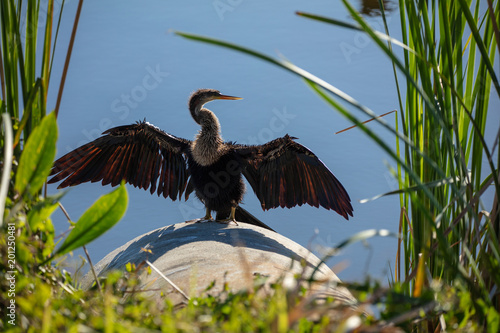 Photo female anhinga is posturing in the Florida sun for warmth