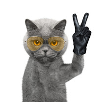 Cat With Victory Fingers. Isol...