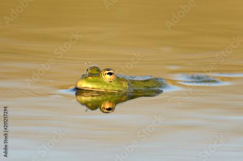 Tuinposter Kikker Green Marsh Frog (Pelophylax ridibundus) on a beautiful light