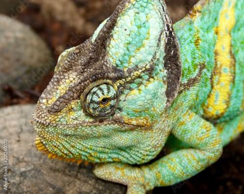 Staande foto Kameleon Chamäleon, Amphibien, Afrika