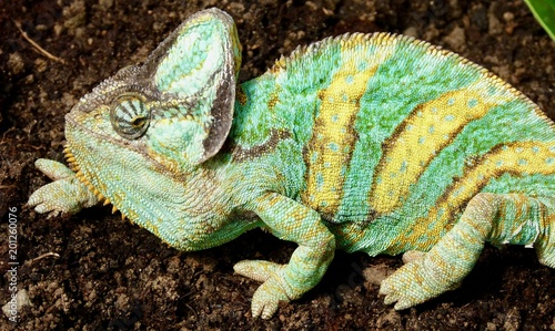 In de dag Kameleon Chamäleon, Amphibien, Afrika