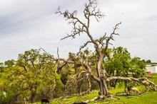 Old Twisted Dead Oak Tree On Hillside With Cattle Grazing