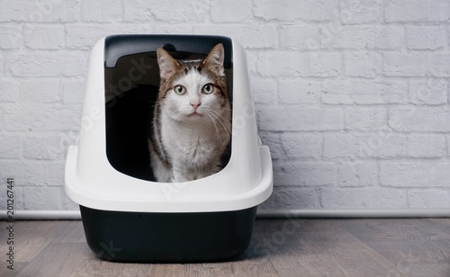 Fotografie, Obraz Tabby cat sitting in a litter box and look to the camera.