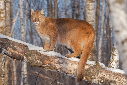 Poster Puma Adult Female Cougar (Puma concolor) Annoyed in Tree