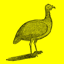 Helmeted Guineafowl (numida Meleagris) In Side View In Front Of A Bright Yellow Background (after A Historical Woodcut Illustration From The 17th Century). Easy Editable In Layers