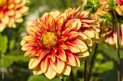 Beautiful red and yellow dahlia