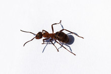 Big Forest Ant Close-up