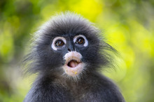 Wild Dusky Leaf Monkey In Sout...