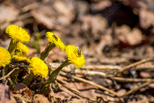 Tablou Canvas Tussilago farfara, commonly known as coltsfoot in April in the spring