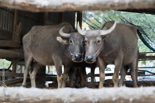 Poster Buffel buffalo in the cattle pen portrait local Thailand buffalo cow in the morning scene