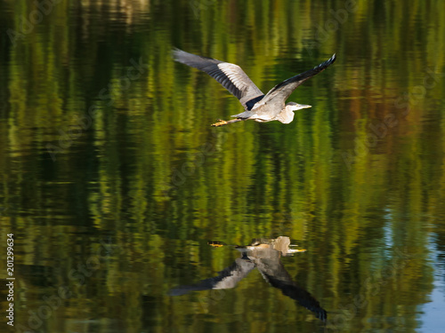 Blue Heron Over Green Waters - Morning Poster